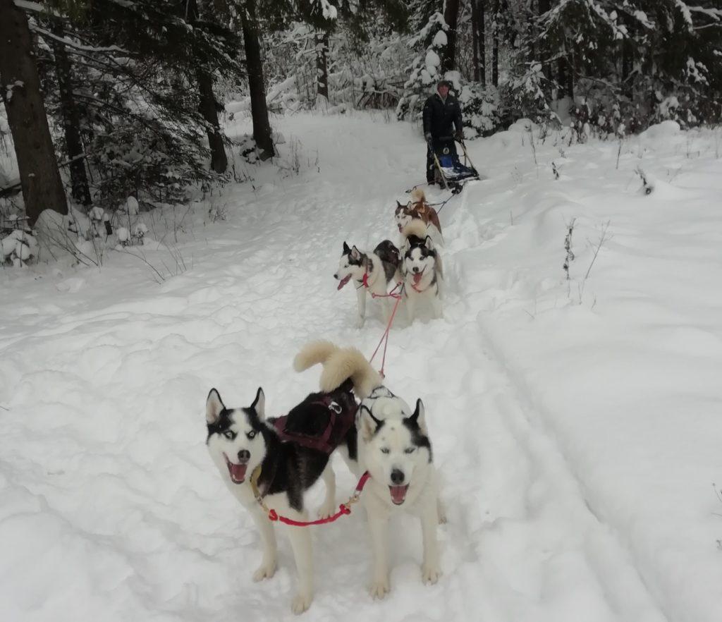 катание на собачьей упряжки хаски экскурсии продажа щенков хаски дом хаски сергиев посад