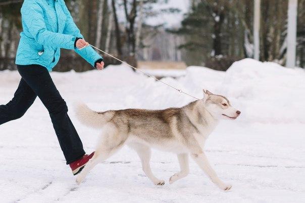 Состоялась Запланированная вязка собак GARMONIA MIRA (Тайга) и TOUCH OF GOLD ARTICO ENCANTO (Тайгер) 6