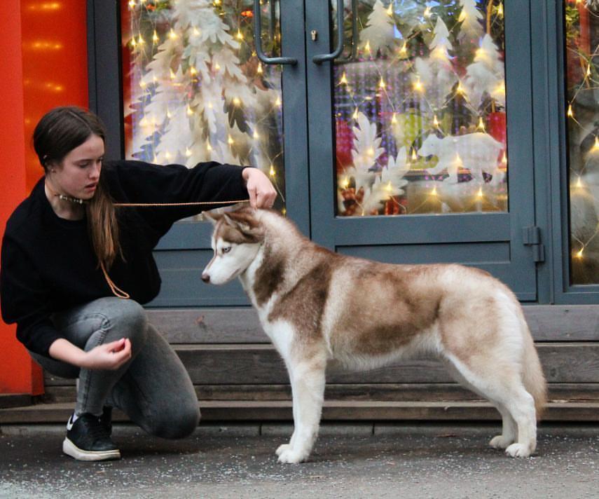 Состоялась Запланированная вязка собак GARMONIA MIRA (Тайга) и TOUCH OF GOLD ARTICO ENCANTO (Тайгер) 4