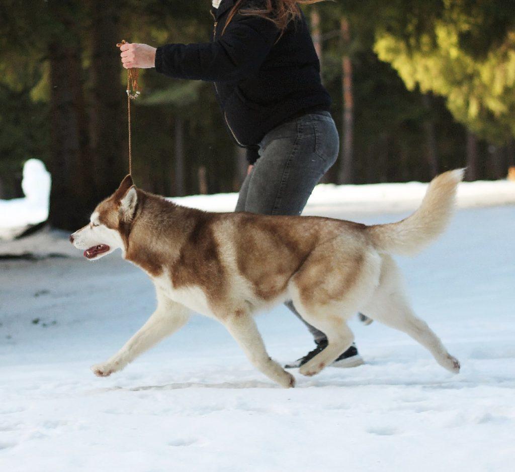 Состоялась Запланированная вязка собак GARMONIA MIRA (Тайга) и TOUCH OF GOLD ARTICO ENCANTO (Тайгер) 3
