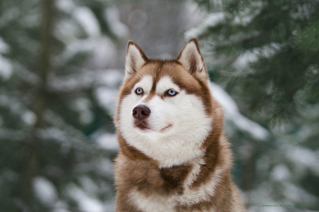 Состоялась Запланированная вязка собак GARMONIA MIRA (Тайга) и TOUCH OF GOLD ARTICO ENCANTO (Тайгер) 2