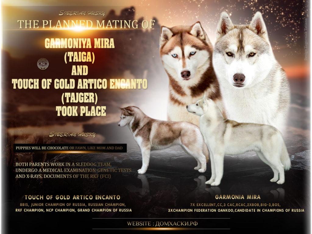 Состоялась Запланированная вязка собак GARMONIA MIRA (Тайга) и TOUCH OF GOLD ARTICO ENCANTO (Тайгер) 1