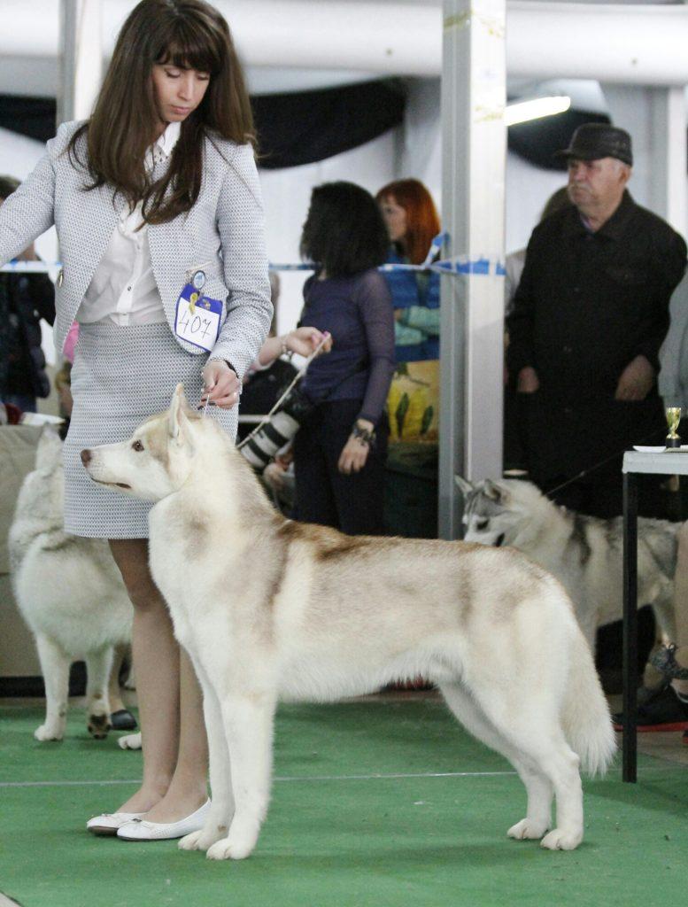 Состоялась Запланированная вязка собак GARMONIA MIRA (Тайга) и TOUCH OF GOLD ARTICO ENCANTO (Тайгер) 7
