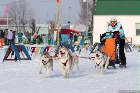 Состоялась Запланированная вязка собак GARMONIA MIRA (Тайга) и TOUCH OF GOLD ARTICO ENCANTO (Тайгер) 8