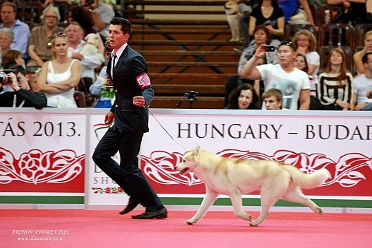 Состоялась Запланированная вязка собак GARMONIA MIRA (Тайга) и TOUCH OF GOLD ARTICO ENCANTO (Тайгер) 11
