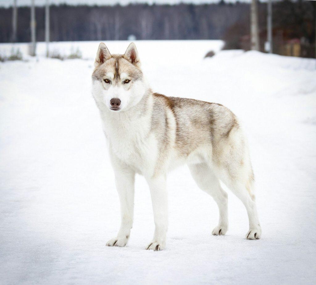 Состоялась Запланированная вязка собак GARMONIA MIRA (Тайга) и TOUCH OF GOLD ARTICO ENCANTO (Тайгер) 5
