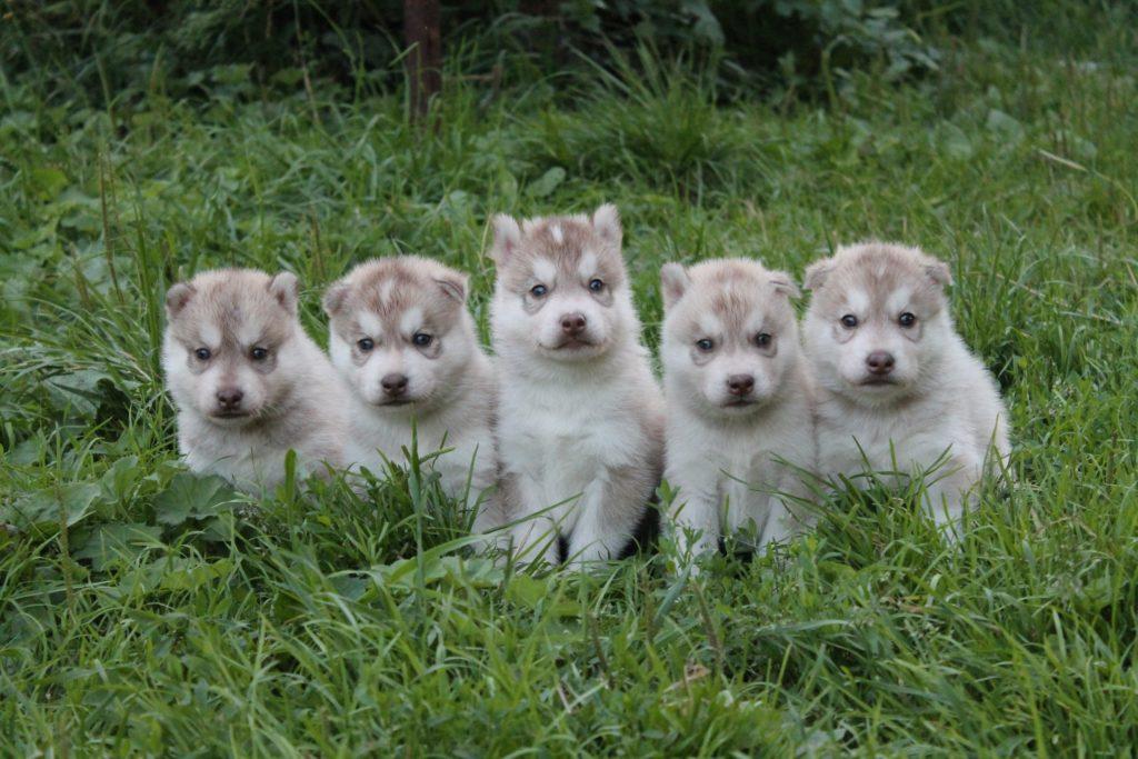 Палевые щенки от Тайги 1
