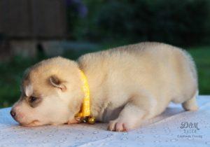 Палевые щенки от Тайги 10
